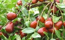 广西特产——灌阳红枣