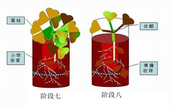 酢浆草怎么种?酢浆草种植方法流程图