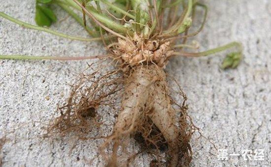 红花酢浆草的根是什么样的?