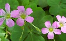 红花酢浆草可以生吃吗?红花酢浆草的花语是什