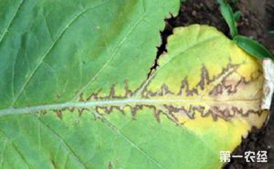 烟草黄瓜花叶病危害范围