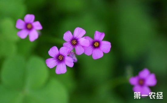 红花酢浆草是什么植物?红花酢浆草花期有多长?