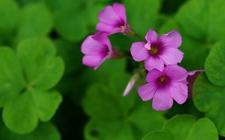 红花酢浆草是什么植物?红花酢浆草花期有多长