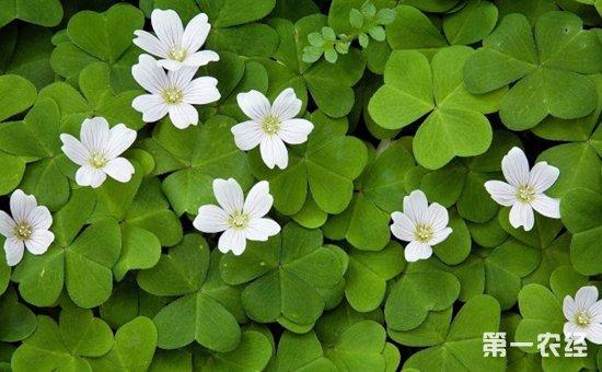 白花酢浆草很珍稀吗?白花酢浆草图片欣赏