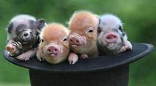 宠物猪品种有哪些?宠物猪的品种及图片
