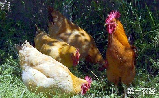 江西特色鸡:康乐鸡