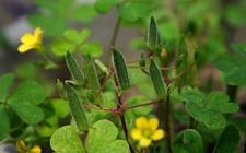 黄花酢浆草种子与黄花酢浆草的果实