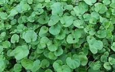 马蹄金绿化如何种植?