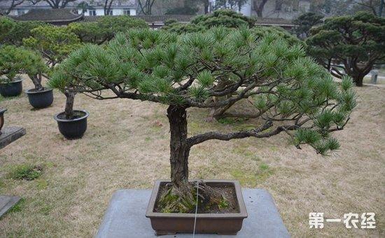 要经常清除枯叶枝干等,确保松树的新芽发育;修建和嫁接时候一定要注意
