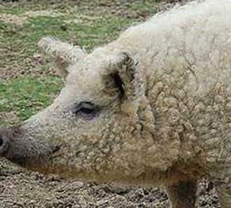 """林肯郡卷毛猪:像""""绵羊""""的英国猪品种"""