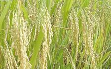 RDDK-Shld1系统成功运用于水稻和小麦研究