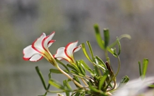 双色酢浆草多少温度可以露养?