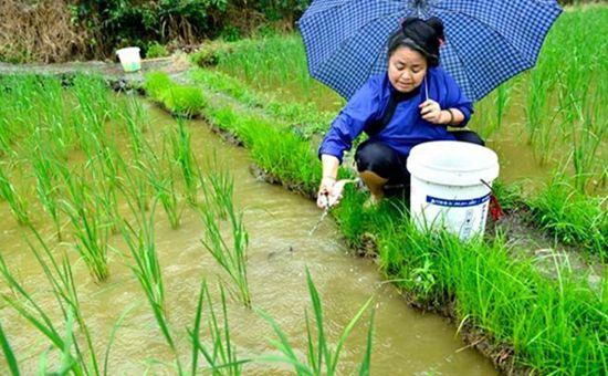 江西稻渔综合种养:一水两用 一田双收
