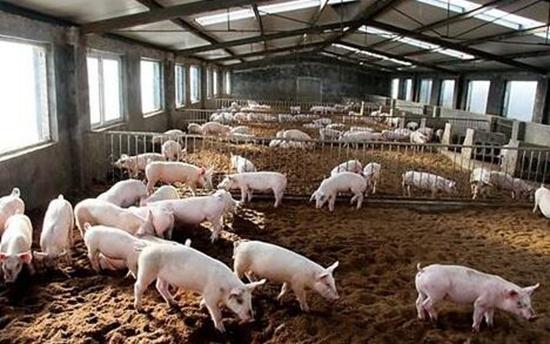 浙江义乌养猪业正在向集约化转型升级