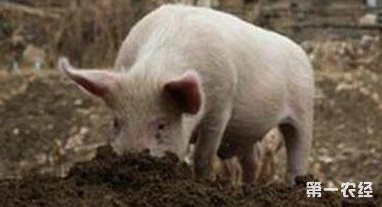 猪吃泥巴是什么原因?