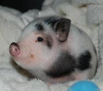 微型猪:世界上最小的一种野猪