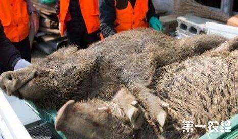 日本猎杀变异野猪的原因