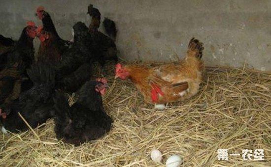 鸡下蛋为什么自己吃?鸡吃蛋怎么办?