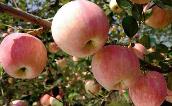 山东蓬莱:越打越响的苹果名片