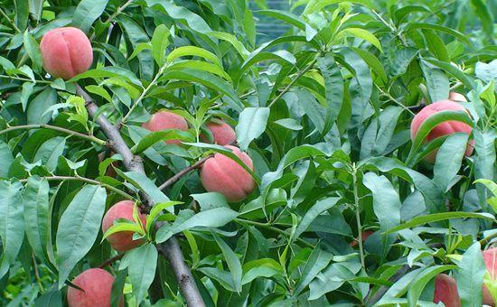 广西钦州:水果产业迎来转型升级