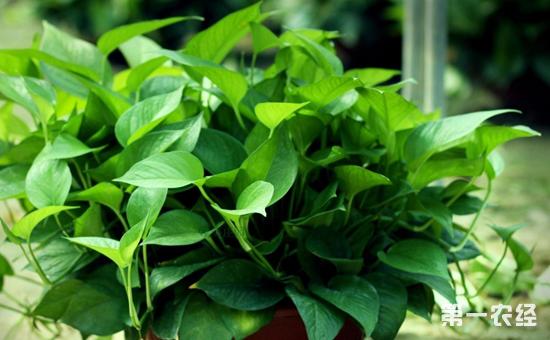 6种具有超强净化空气效果的盆栽植物介绍!家居环境更清新