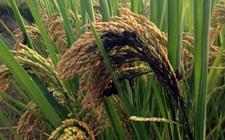 水稻为什么有黑粒?水稻粒黑粉病防治