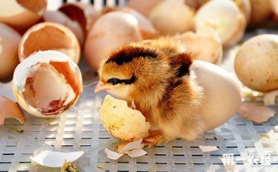 小鸡出壳饲养