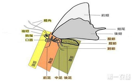 蝴蝶的呼吸器官在哪 蝴蝶的身体结构示意图