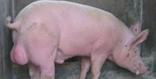 大白猪好还是长白猪好?大白猪和长白猪的区别