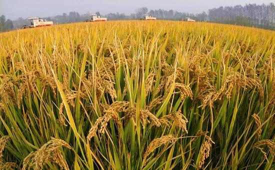 江苏:夏粮获丰收 比上年增产8.8亿斤