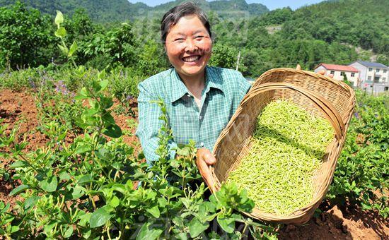 湖北卢家山村:中药材种植带来高收益