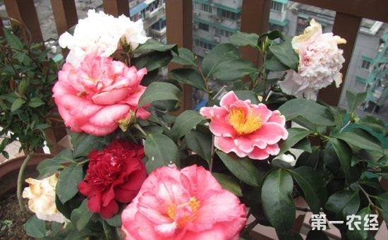 图:茶花盆栽-养花技巧 夏天浇水时加点料 盆栽植物黄叶变绿叶