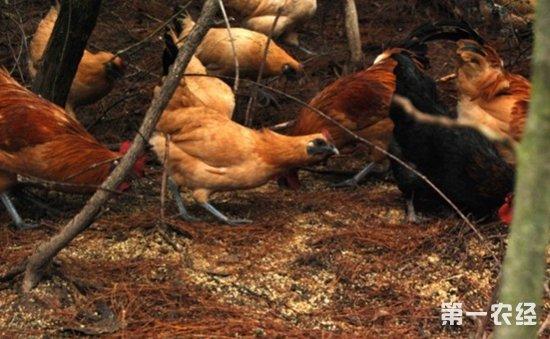 乌骨鸡品种
