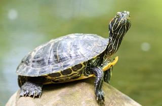 【巴西龟专题】巴西龟饲养|巴西龟放生危害|龟病