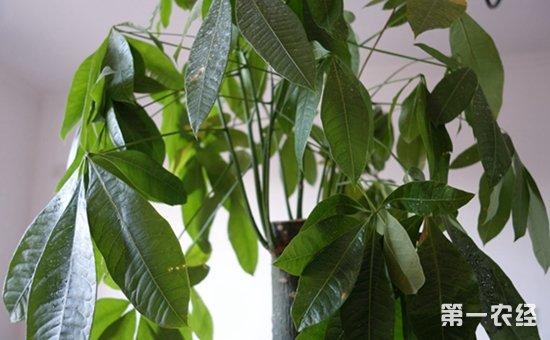 夏季高温天气发财树的养护方法介绍!黄叶烂根都不怕