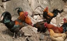 """17.5万分红!5000万羽石门土鸡养殖项目成功打响产业扶贫""""第一仗"""""""