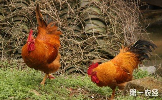 影响鸡羽毛生长的因素有哪些?