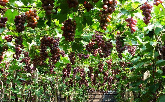 吉林长流村:温室葡萄已进入采摘季