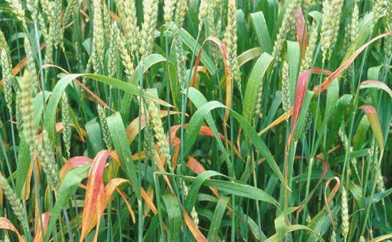 吉林:发展朝阳产业 打造燕麦之都