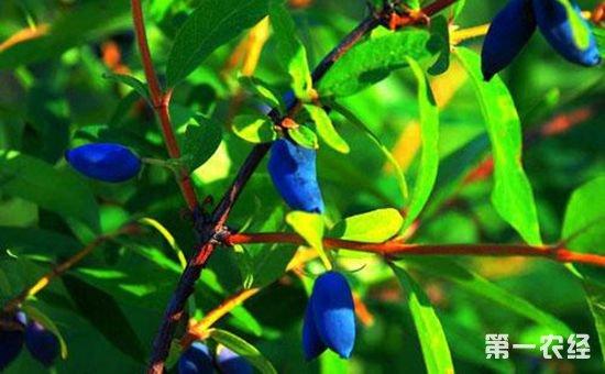 黑龙江勃利:蓝靛果产业渐拓宽