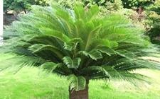 铁树价格一般多少?1米高铁树值多少钱?