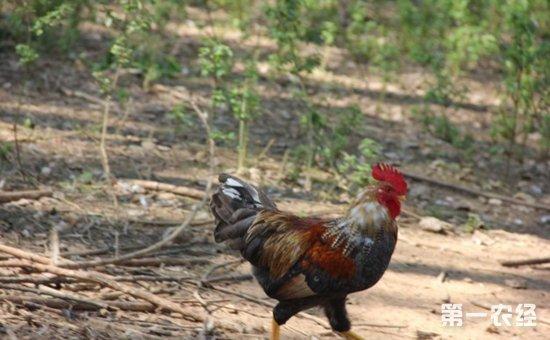 烟台糁糠鸡品种