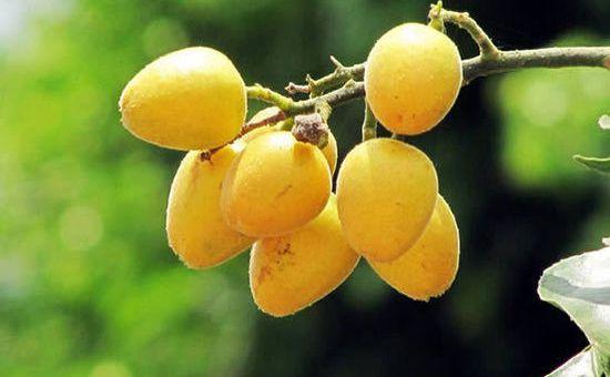海南儋州:黄皮产业已成品牌