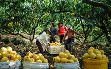 一个新型农民的敏锐的商业嗅觉 带动当地300户桃农发家致富