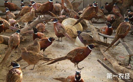 山鸡养殖场
