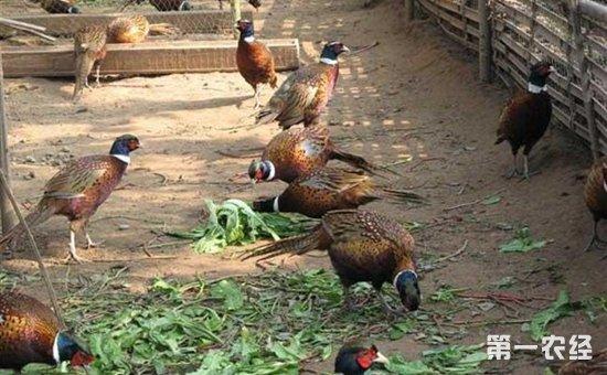 山鸡养殖合作社
