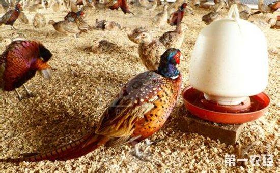 野鸡养殖成本