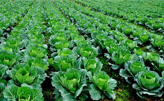 云南通海:积极推进农业结构调整 做强做精蔬菜产业