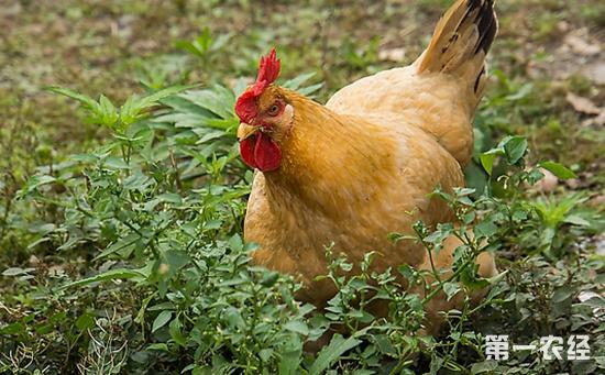 土鸡养殖技术