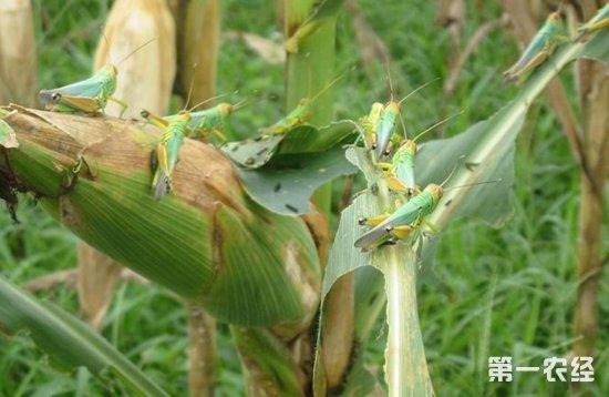 蝗灾为什么又被称为干旱灾害?为什么干旱时易发生蝗灾?